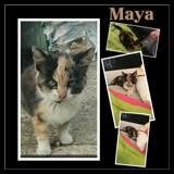 Maya, Chaton  à adopter