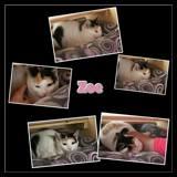 Zoe, Chaton  à adopter