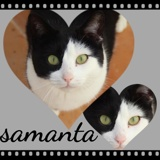 Samanta, Chat  à adopter