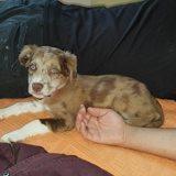 Meïko, Chiot  à adopter