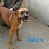 Falco, Chien boxer à adopter