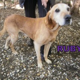 Ruby, Chien  à adopter