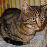 Fifille adorable tigrée, Chat européen à adopter