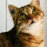Aba jolie frimousse, Chat européen à adopter