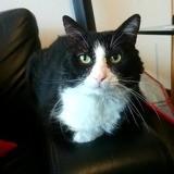 Michou, Chat européen à adopter