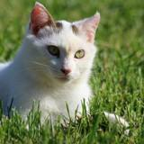 Moogli, Chat européen à adopter