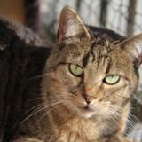 Calinette femelle tigrée de 1 an 1/2, Chat à adopter