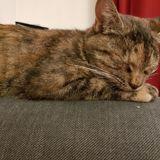 Ibis, Chat gouttière à adopter