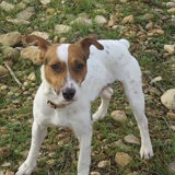 Mambo, Chien jack russell terrier à adopter