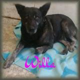 Willa, Chien  à adopter