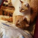 Nino, Chat européen, siamois à adopter
