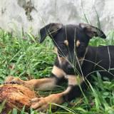 Oosha, chiot femelle croisée, Chiot  à adopter