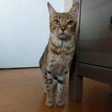 Jade, Chat européen à adopter