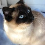 Lulla, Chat siamois à adopter
