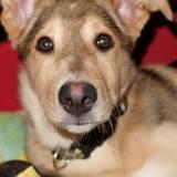 Nyméria, Chiot berger allemand, chien-loup tchèque à adopter