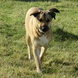 Lolita, Chien berger allemand, husky sibérien à adopter