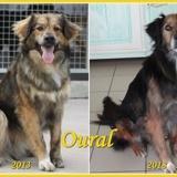 Oural, Chien berger australien à adopter