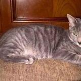 Winnie, Chat européen à adopter