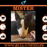 Mister, Chien bull terrier à adopter