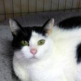 Julie, Chat européen à adopter
