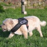 Titeuf, Chien west highland white terrier à adopter
