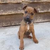 Nerissa, Chiot jack russell terrier à adopter