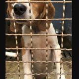 Boule, Chien beagle à adopter