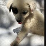 Oreo, Chiot  à adopter