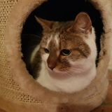 Naïa, Chat  à adopter