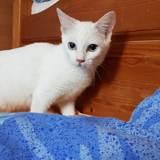 Mika, Chaton  à adopter