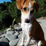 Shimea, Chiot  à adopter