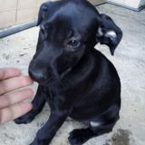 Charly, Chiot  à adopter