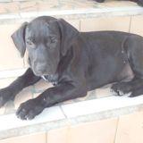 Max, Chiot  à adopter