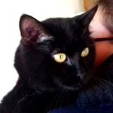 Noiraud tout gentil, Chat  à adopter
