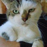 Moun chat tigré/blanc de 10 ans, Chat à adopter