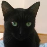 Marcelle de sète, Chat européen à adopter