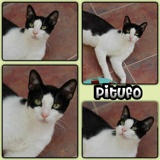 Pitufo, Chat  à adopter