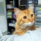 Martin de bretzel, Chat européen à adopter