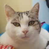 Pepita, Chat européen à adopter