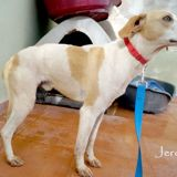 Jeremy, Chien  à adopter