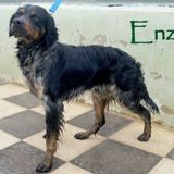 Enzo, Chien  à adopter