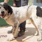Arno, Chien  à adopter