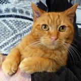 Lamalice chat à bras, Chat  à adopter
