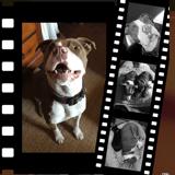 Denzel, Chien american staffordshire terrier à adopter