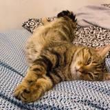 Madji, Chat européen à adopter