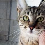 Sidonie 8 mois, Chaton  à adopter