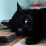 Nymphea noire au pelage satiné, Chat  à adopter