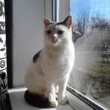 Fulga, Chat européen à adopter