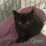 Opium, Chaton  à adopter