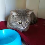 Orson, Chaton  à adopter